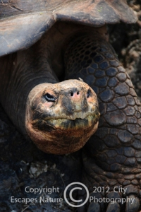 Beguiling Beauty -- Galapagos Tortoise