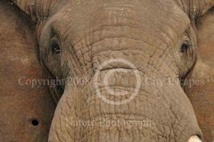 Windows to Ancient Wisdom -- Bull Elephant